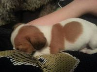 free jack russel puppy