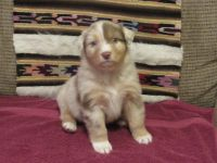 Australian Shepherd PUPPY FOR SALE ADN-64706 - Red Merle with Copper Highlights