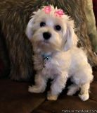 kiuisjssggwbv Abiding Toy Maltese Puppies Ready for sale