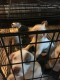 American Pit Bull Terrier PUPPY FOR SALE ADN-53211 - Pit pups for sale