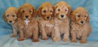Standard Poodle Puppies Text or Call (612) x 502 x 7552
