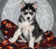 Lilly Alaskan Malamute Puppies For Sale