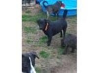 Adopt Shortie a Labrador Retriever