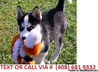 NICE M/F SIBERIAN HUSKY PUPPIES Available For Sale