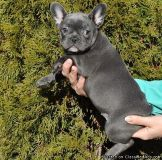GHJYGVGF French Bulldog Puppies