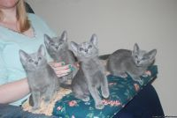 Russain blue kittens for pet lovers
