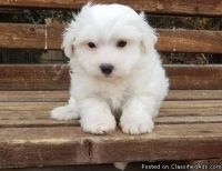 bxnd AKc Bichon Frise Puppies Available Now