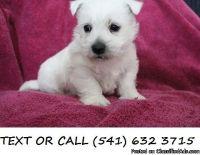 EPOND *^&!)Fast,West Highland White Terrier Puppies