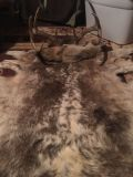 All you sportsman out there!! extra large whitetail albino mix professionally tanned deer hide with