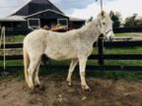 Adopt Chief-companion horse a Gray Gaited horse in Nicholasville, KY (19536730)