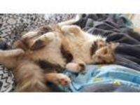 Adopt Kitty Cat a Calico or Dilute Calico Domestic Mediumhair (medium coat) cat