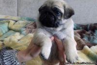 Lucky Cute M/F Pug Puppies
