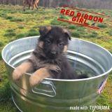German Shepherd Dog PUPPY FOR SALE ADN-64578 - Red Ribbon Girl