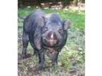 Adopt Jimmy Dean a Pig (Potbellied) farm-type animal in Columbia Station