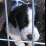 adorable puppies (apple springs tx)