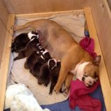Cute Lovely Males and females English bulldog puppies available