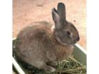 Adopt Girl a Chinchilla Chinchilla, American / Mixed rabbit in Los Angeles