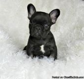 JHHGFCGF French Bulldog Puppies