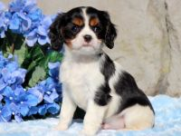 Cavalier King Charles Spaniel PUPPY FOR SALE ADN-51804 - Cavalier Puppy For Sale