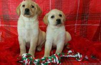 Beautiful yellow Labrador puppies Lab