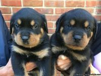 ftyere Rottweiler Puppies Ready now
