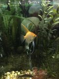 looking for a large female angelfish
