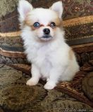 LOVELY M/F POMERANIAN PUPPIES Available For Sale