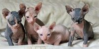 Male and female sphynx kitten for sale