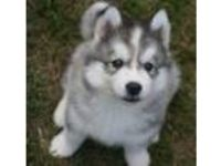 Siberian husky puppies for asale