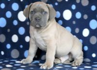 Cane Corso PUPPY FOR SALE ADN-64354 - Cane Corso Puppy for Sale
