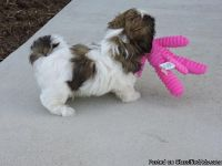 Assured breeder 1 male shih Tzu puppy