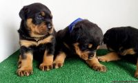 VESW Adorable M/F AKC German Rottweiler Puppies