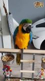 Xzasqw Blue And Gold Pair Of Macaw Parrots For Sale Now