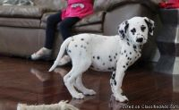 HJGKETY DALMATIAN PUPPIES AVAILABLE FOR SALE Text: (4O4) 692 XX 3714
