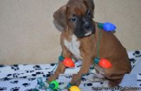 Home train Boxer puppies for sale