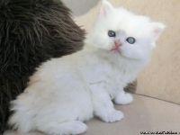 5 Star Stunning Persian Kittens 4 sale