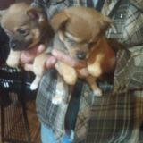 Chiranian PUPPY FOR SALE ADN-51856 - Chi Poms