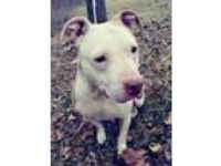 Adopt Buttercup a Staffordshire Bull Terrier