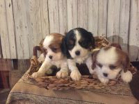 Cavalier King Charles Spaniel PUPPY FOR SALE ADN-63692 - Adorable AKC Cavalier King Charles Puppies