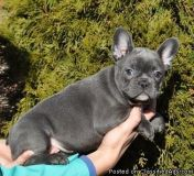 VGHJNBHNB French bulldog puppies