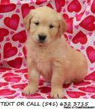 ERSXE(#!*^)Superb Goldendoodle Puppies