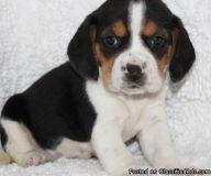 kgyjftyg nice Beagle puppies ready now