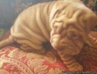 sehrehtrfhtr Chinese Shar Pei puppies for sale