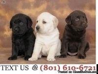 Respectful Labrador Retriever Puppies Available