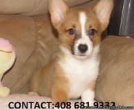 ASTONISHING M/F PEMBROKE WELSH CORGI PUPPIES Available For Sale,