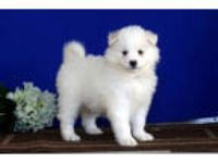 Tessie Samoyed Puppy