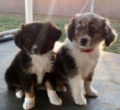 Mini Australian Shepard Puppies