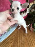 Chihuahua PUPPY FOR SALE ADN-62875 - Applehead chihuahua teacup