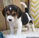 Beagle Puppies 10 Week Old Ready Now