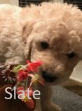 Poodle (Standard)-Goldendoodle Mix PUPPY FOR SALE ADN-64460 - Beautiful F1b Goldendoodle Puppies